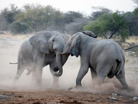 elephants fighting in the wild
